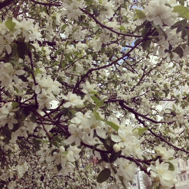 flowers-trees-spring