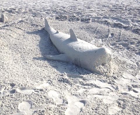 White-Cabana-sand shark-1