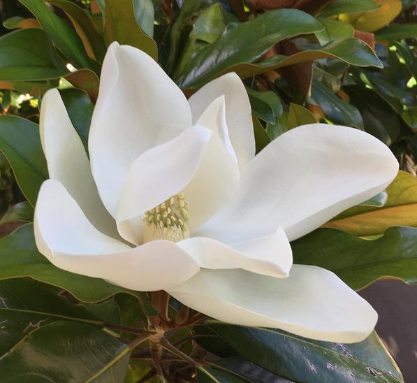 Magnolia-flower-White-Cabana-Italy